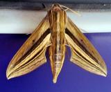 School Moth