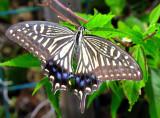 Japan's Swallowtail