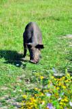 Porco Preto