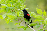 Carouge à épaulettes / Red-winged Blackbird