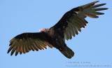 Urubu à tête rouge  /  Turkey Vulture