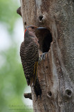 Pic flamboyant (f) / Northern Flicker (f)