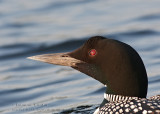 Plongeon huard / Common Loon