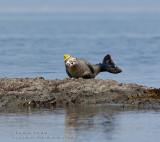 Phoque commun / Harbour seal