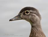 Canard branchu (juv) / Wood Duck (juv)