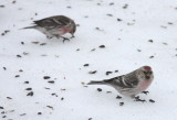 Hoary Redpoll - WI