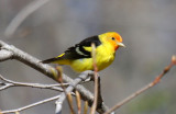 Western Tanager - WI