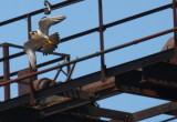 Oredock falcons