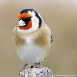 Chardonneret élégant - Goldfinch