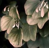 Bauhinia Leaves