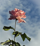 Rose against the sky