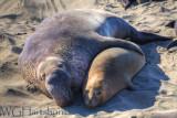 Elephant Seals Tru Luv