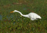 Garza blanca (Egretta alba)