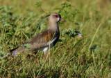 Tero tero (Vanellus chilensis)