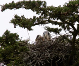 Great Blue Heron and Chicks.
