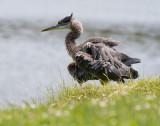 Great Blue Heron, Lake Merced