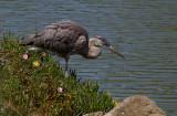 Great Blue Heron, Lake Merced 2