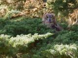 Fledling Great Horned Owl 5