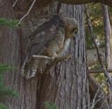Fledling Great Horned Owl 4