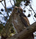 Fledling Great Horned Owl 3