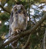 Fledling Great Horned Owl 2