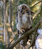 Fledling Great Horned Owl 1