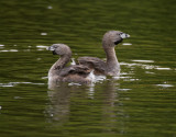 pair of Pied-billed Grebe