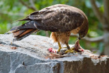 Red-tailed hawk and lunch 3