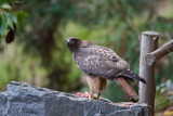 Red-tailed hawk and lunch 2