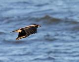Kråka Hooded Crow Corvus corone