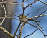 Brandkronad kungsfågel Firecrest Regulus ignicapillus