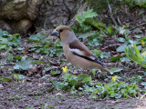 Stenknäck Coccothraustes coccothraustesHawfinch