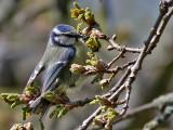 Blåmes Blue Tit Parus caeruleus
