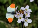 Aurorafjäril -  Orange Tip -  Anthocharis cardamines