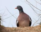 Ringduva Common Wood Pigeon Columba palumbus