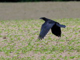 Korp  Raven Corvus corax