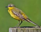 Gulärla  Yellow wagtail Motacilla flava flava