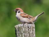 Pilfink Passer montanus Eurasian Tree Sparrow