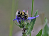 Humlebagge  Bee BeetleTrichius fasciatus