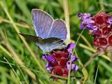 Ängsblåvinge Mazarine blueCyaniris semiargus