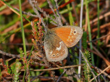 Starrgräsfjäril - Large Heath - Coenonympha tullia