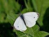 Rapsfjäril - Green-veined white - Pieris napi