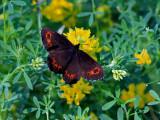 Skogsgräsfjäril - Arran brown - Erebia ligea