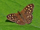 Kvickgräsfjäril -  Speckled wood . Pararge aegeria