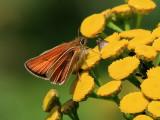 Mindre tåtelsmygare - European Skipper - Thymelicus lineola