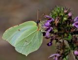Citronfjäril - Brimstone - Gonepteryx rahmni