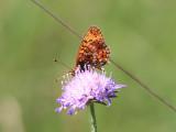 Brunfläckig pärlemorfjäril -  Small Pearl-bordered Fritillary - Boloria selene