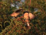 Törnskata Red-backed Shrike Lanius collurio