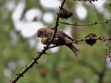 Bändelkorsnäbb Two-barred Crossbill Loxia leucoptera