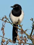 Skata Pica pica Common Magpie